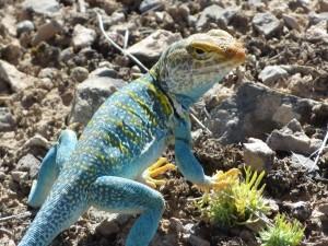 Collared lizard (photo: B. Kopp)