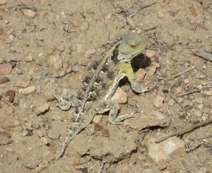 Horned lizard (photo: B. Kopp)