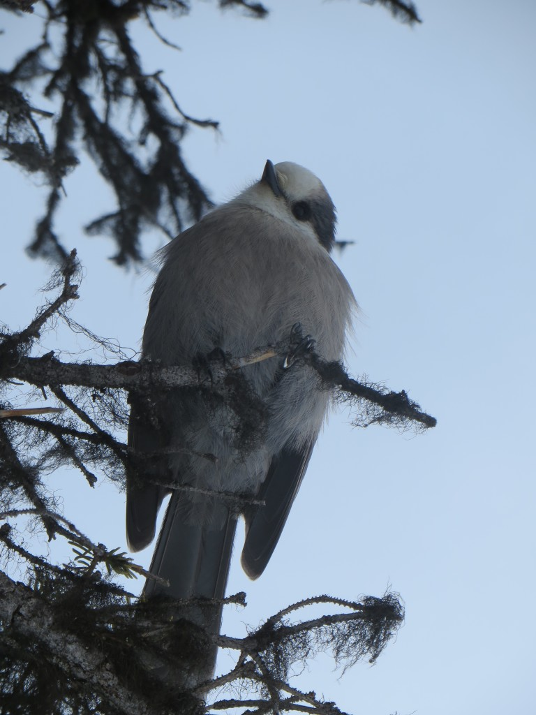 Gray jay on the hunt for food. (Photo credit: M. Kopp)