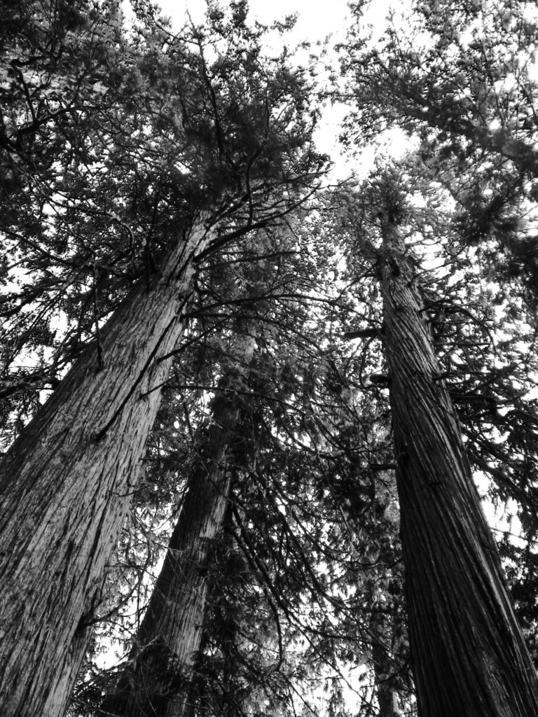 Ancient Western Red Cedars. (Photo Credit: M. Kopp)